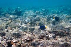 Ocho Siganidae y sabor de rabo amarillo están en el fondo del mar Fotos de archivo libres de regalías