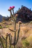 Ochotillo仙人掌在大弯曲国家公园 免版税图库摄影