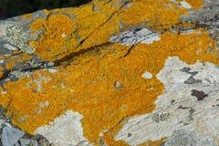 Ochra coloured liszaju na skałach przy plażą Fotografia Stock