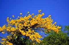 Ochracea Tabebuia, κίτρινο δέντρο λουλουδιών Στοκ Εικόνες