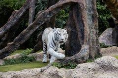 Ochraniający biały tygrys w pustkowiu zdjęcie royalty free