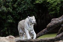 Ochraniający biały tygrys w pustkowiu zdjęcia royalty free