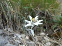 Ochraniający halny kwiat zdjęcia stock