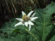 Ochraniający halny kwiat zdjęcia royalty free