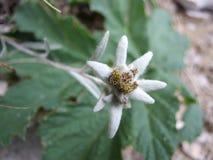 Ochraniający halny kwiat obraz stock