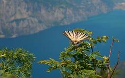 Ochraniający rzadko Swallowtail motyl w lecie, Iphiclides strąk obraz stock