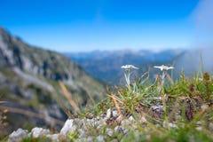 Ochraniający szarotka halny kwiat na Bergamo Alps obraz royalty free