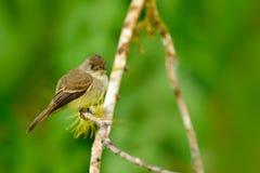 Ochre-διογκωμένο flycatcher, oleagineus Mionectes, Κόστα Ρίκα Bord στο βιότοπο φύσης στοκ εικόνες