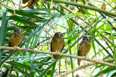 Ochre-bellied Boobook (Ninox ochracea) in Sulawesi Stock Photography
