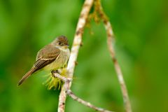 Ochre-bellied flycatcher, Mionectes oleagineus, Costa Rica. Bord in the nature habitat. stock images