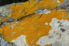 Ochre coloured lichen on rocks at the beach stock photography