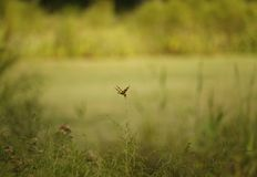 Ochre Dragonfly. Close-up of an ochre brown dragonfly amidst a blur of lakeside flora and grass Stock Image
