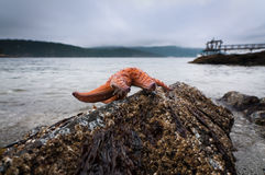 Ochre Sea Star on a rock at low Royalty Free Stock Image