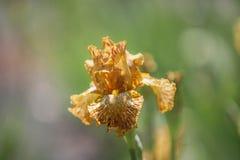 Ochre Yellow Tall Bearded Iris Tiger Honey Stock Images