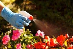 Ochrona przeciw chorobom i insektom rozpylać z gaceniem obrazy royalty free
