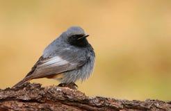 Ochruros negros del Phoenicurus de Redstart Imagenes de archivo