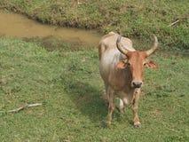 Ochse, der auf dem Bauernhof weiden lässt stockfotografie