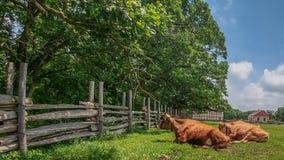 Ochsen, die in Gras durch Zaun legen lizenzfreie stockfotografie