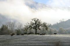 Ochsen und Schnee Stockbilder