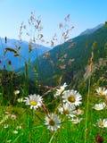 Ochsenaugegänseblümchen Stockfoto