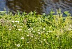 Ochsenaugegänseblümchen auf der Ufergegend Lizenzfreies Stockbild