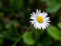 Ochsenaugegänseblümchenblume Stockfotografie
