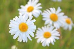 Ochsenaugengänseblümchen in einer Wiese der wilden Blume Lizenzfreies Stockfoto