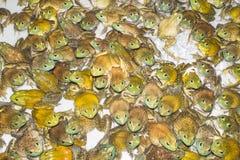 Ochsenfrosch Stockbilder