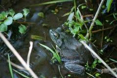 Ochsenfrosch, der im Wasser sitzt lizenzfreie stockfotografie
