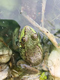 Ochsenfrosch in einem Teich Stockbilder