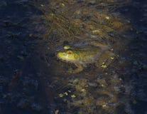 Ochsenfrosch im Teich lizenzfreie stockfotos
