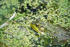 Ochsenfrosch im Wasser Lizenzfreie Stockbilder