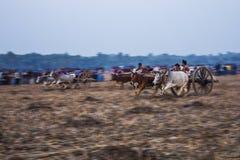 Ochsenkarrenrennen stockfoto