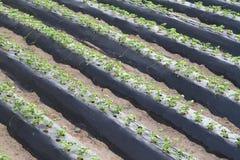 Ochtend bij mooi aardbeilandbouwbedrijf Stock Foto