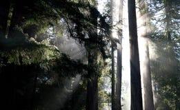 Ochtend in Californische sequoiabos stock fotografie