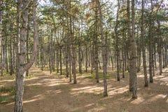 Ochtend in een pijnboom bos groen gras Stock Foto