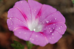 Ochtend Glory Flower stock afbeeldingen