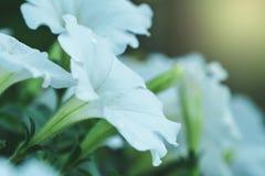 Ochtend Glory Flower Royalty-vrije Stock Afbeelding