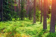 Ochtend in het bos Royalty-vrije Stock Foto's