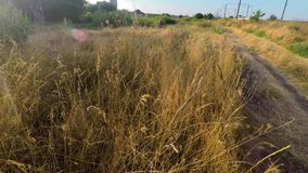 Ochtend in het dorp over de oren van tarwe stock footage