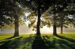Ochtend Misty Sun Rays door Eiken Bomen Stock Afbeeldingen