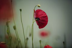 Ochtend Poppy Flower royalty-vrije stock foto's