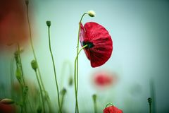Ochtend Poppy Flower stock foto's
