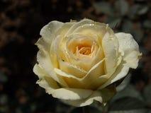 Ochtend Rose Dewdrops royalty-vrije stock fotografie