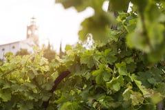 Ochtend in wijngaard Royalty-vrije Stock Foto's