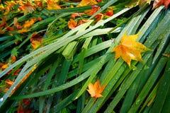 Ochtenddauw met van Val van Japanse Esdoornbladeren Royalty-vrije Stock Afbeeldingen