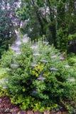 Ochtenddauwdruppels op Spinnewebben van Holly Bush - 2 Stock Foto's