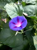 Ochtendglorie in tuin Stock Foto's