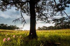 Ochtendpijnboom Stock Afbeeldingen
