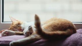Ochtendzonlicht op de slaap rode kat De leuke grappige rood-witte kat op de deken, sluit omhoog stock video